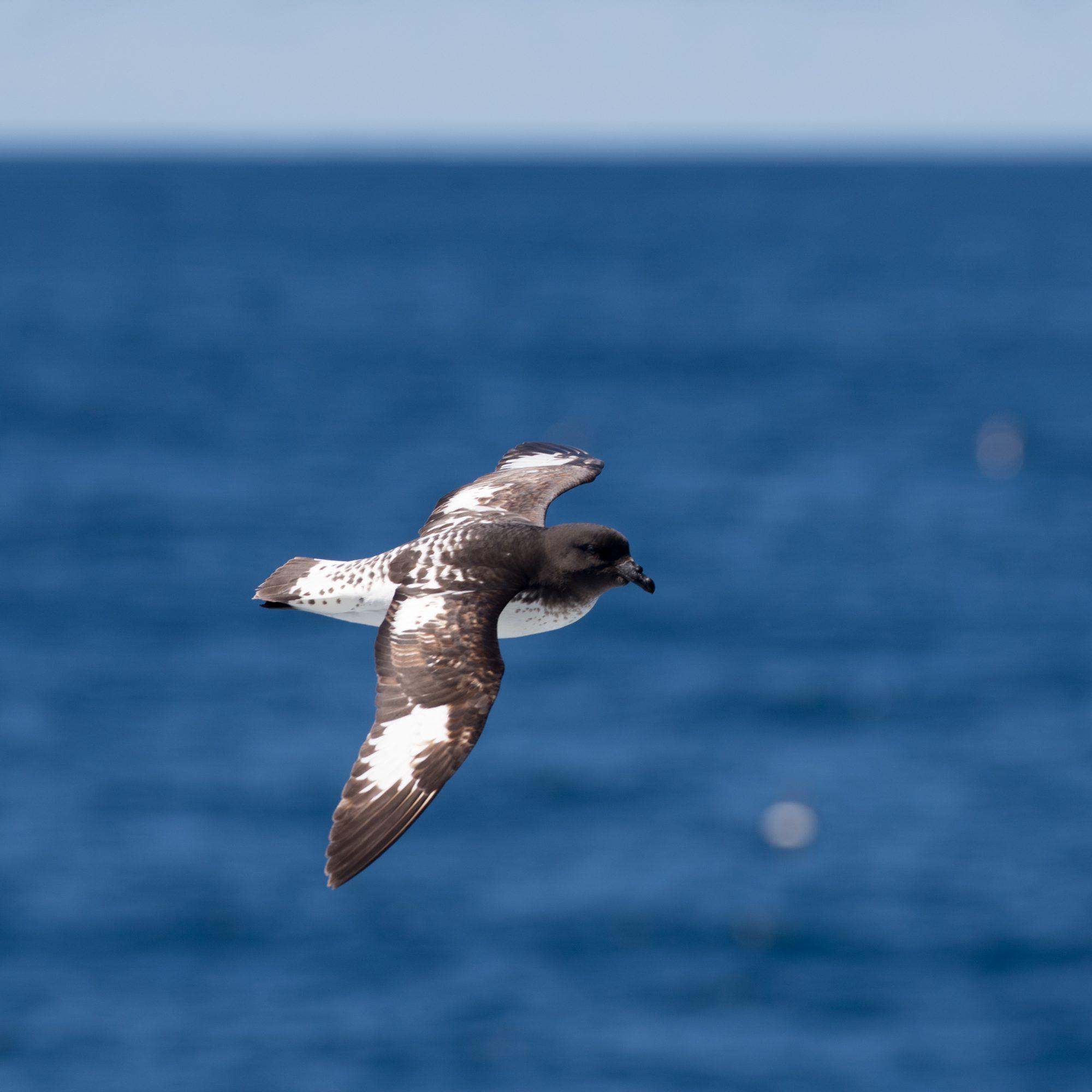 Cape Petrel, Southern Ocean, 2018 - Graham Boulnois